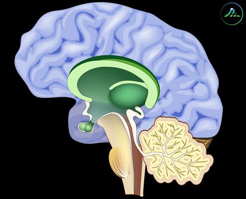 Drievoudig brein
